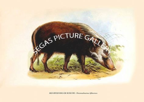 Fine art print of the RED RIVER HOG OR BUSH PIG - Potamochoerus Africanus by Zoological Society of London -Animals 1848-60